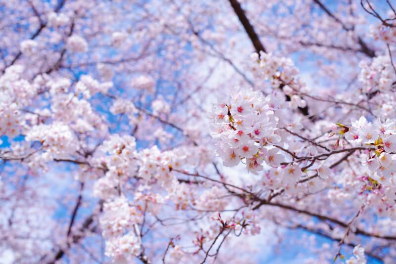 合格の季節に咲く桜